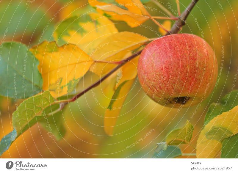 Autumn in the orchard apples Fruit garden Organic produce organic fruit Autumnal Autumnal colours Vegetarian diet Pastel tone October Garden Garden fruit