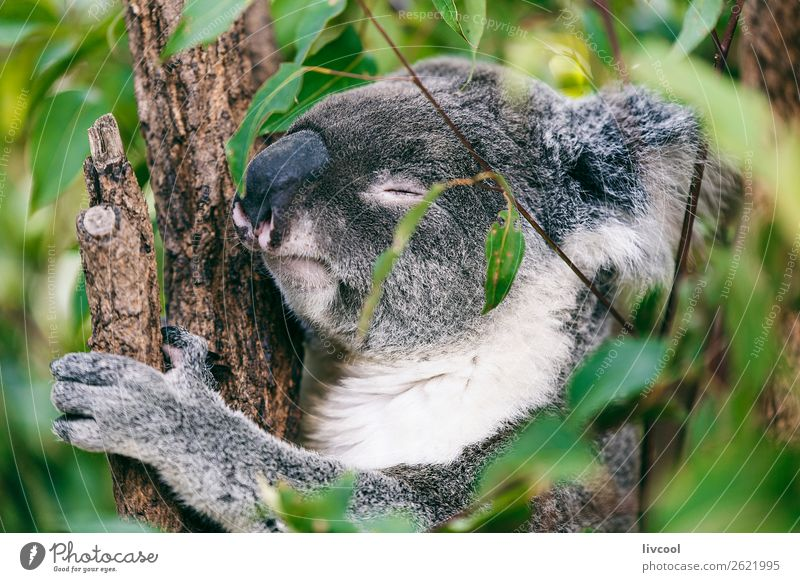 koala sleeping Vacation & Travel Trip Adventure Family & Relations Group Nature Animal Tree Forest 1 Sleep Friendliness Cute Gray Emotions Love of animals