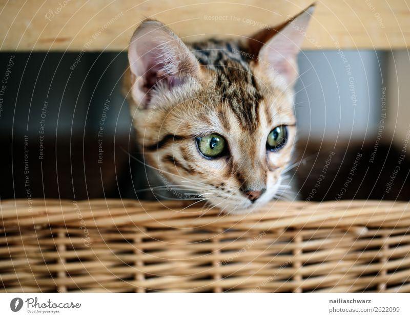 Bengal cat in basket Lifestyle Living or residing Animal Pet Cat bengal cat 1 Baby animal Basket wicker basket Wood Observe Relaxation Lie Wait Brash