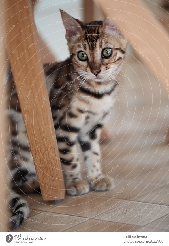 Bengal cat Elegant Flat (apartment) Animal Cat 1 Baby animal Observe Looking Sit Beautiful Natural Curiosity Cute Moody Joy Contentment Sympathy Love