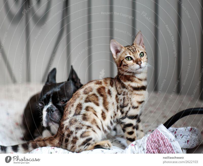 Cat & Dog Lifestyle Elegant Living or residing Flat (apartment) Bed Animal Pet Animal face boston terrier French Bulldog Bengali Cat bengal cat 2