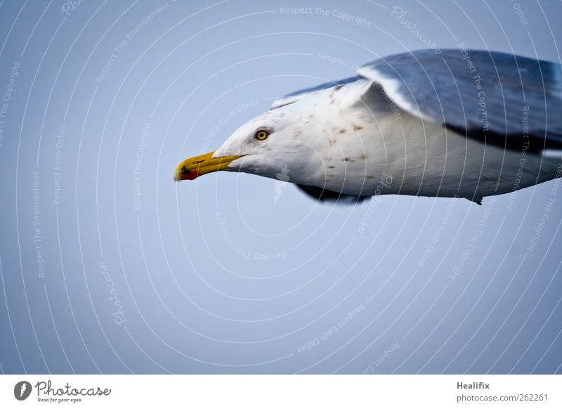 seagull Sky Animal Wild animal Bird Animal face Wing Seagull 1 Flying Feeding Esthetic Thin Blue White Willpower Resolve Freedom Environment Far-off places Beak