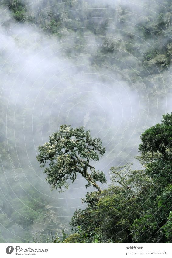 tree-top... Environment Nature Landscape Plant Clouds Tree Foliage plant Exotic Forest Virgin forest Mountain Green Cloud forest Undergrowth Treetop Fog