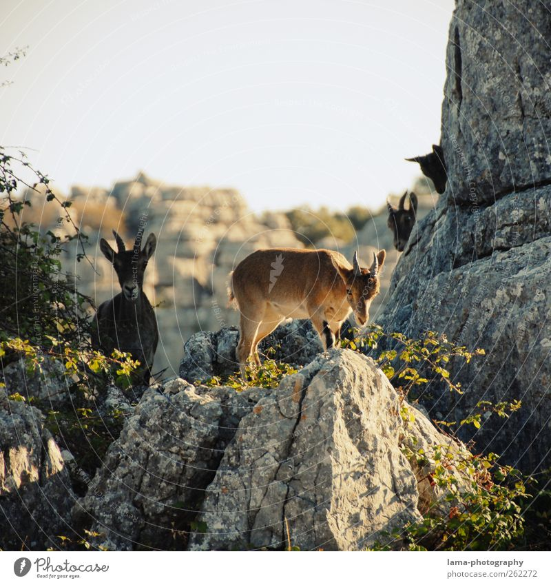 Nature Animal Mountain Rock Wild Wild animal Trip Adventure Spain Expedition National Park Goats Andalucia Free-living Capricorn Animal family