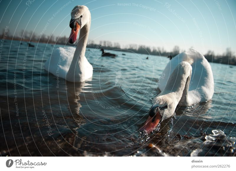 Feeding the predators Environment Nature Water Sky Cloudless sky Beautiful weather Lakeside Animal Wild animal Bird Swan 2 Pair of animals To feed