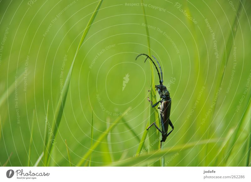 no risk no fun Nature Plant Grass Animal Wild animal 1 Crazy Green To hold on Jump Feeler Beetle Insect Dazzling Longhorn beetle Climbing Blade of grass Spring