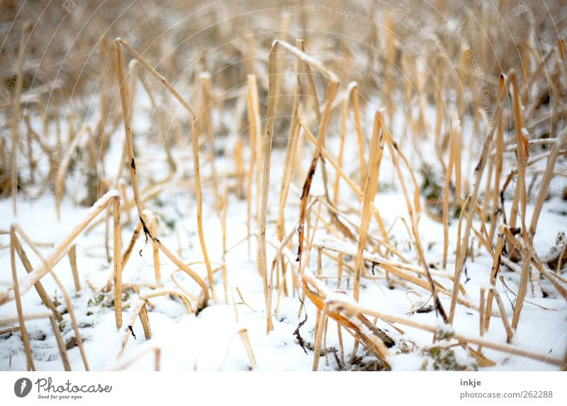 Snow in the cornfield Nature Winter Climate Ice Frost Wild plant Straw Cornfield Stubble field Field Deserted Cold Gloomy Dry Brown Yellow White Emotions Moody