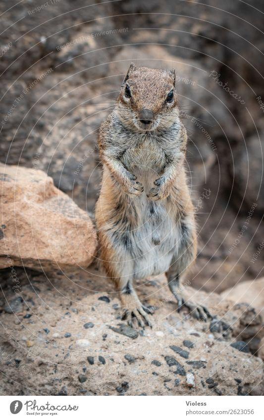Atlas squirrel II Eastern American Chipmunk Berber squirrel bristle croissant Atlantoxerus Fuerteventura Animal Wild animal Animal face Pelt Claw Paw Squirrel