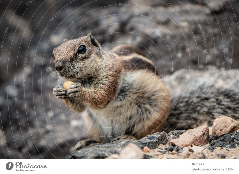 Atlas squirrel III Eastern American Chipmunk Berber squirrel bristle croissant Atlantoxerus Fuerteventura Animal Wild animal Animal face Pelt Claw Paw Squirrel