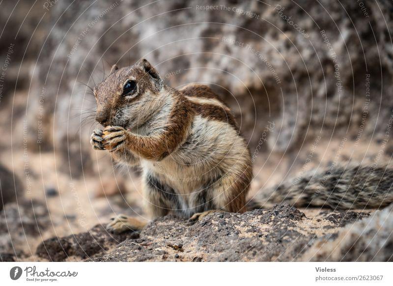 Atlas croissant Eastern American Chipmunk Berber squirrel bristle croissant Atlantoxerus Fuerteventura Animal Wild animal Animal face Pelt Claw Paw Squirrel