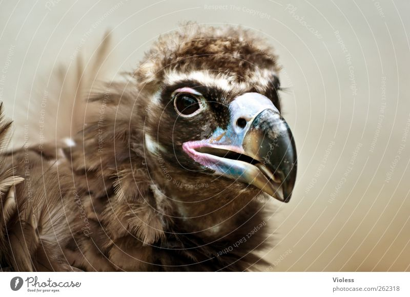 Greece...? Animal Bird Animal face Zoo 1 Esthetic Natural Brown Power Scavenger Black Vulture Beak Head Colour photo