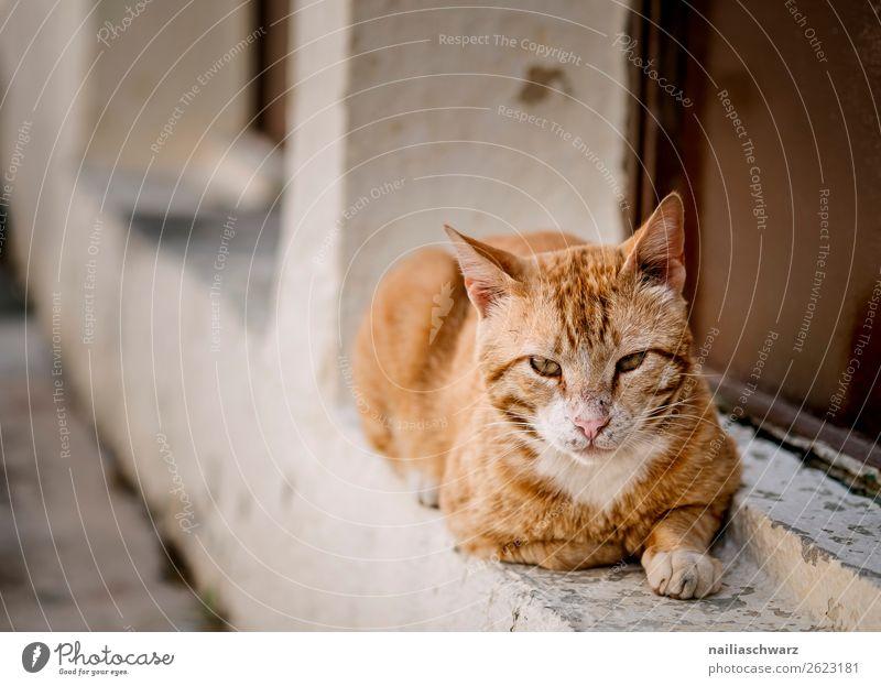 cat Summer Greece Crete Wall (barrier) Wall (building) Facade Animal Pet Cat Animal face 1 Observe Relaxation Lie Brash Astute Curiosity Cute Soft Orange Red