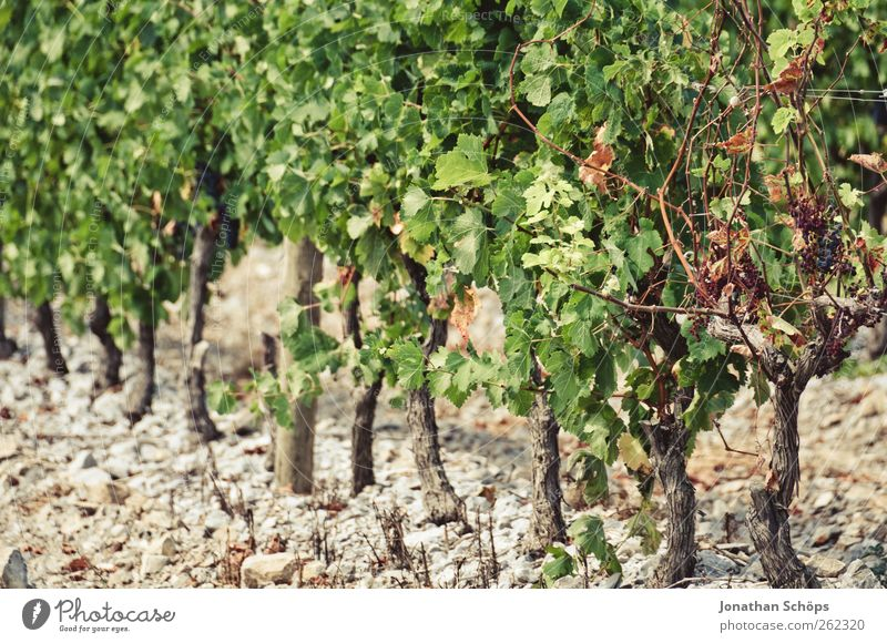 The vineyard III Summer Environment Nature Plant Beautiful weather Work and employment Grape harvest Vine Bunch of grapes Wine growing Agriculture Row Beaded