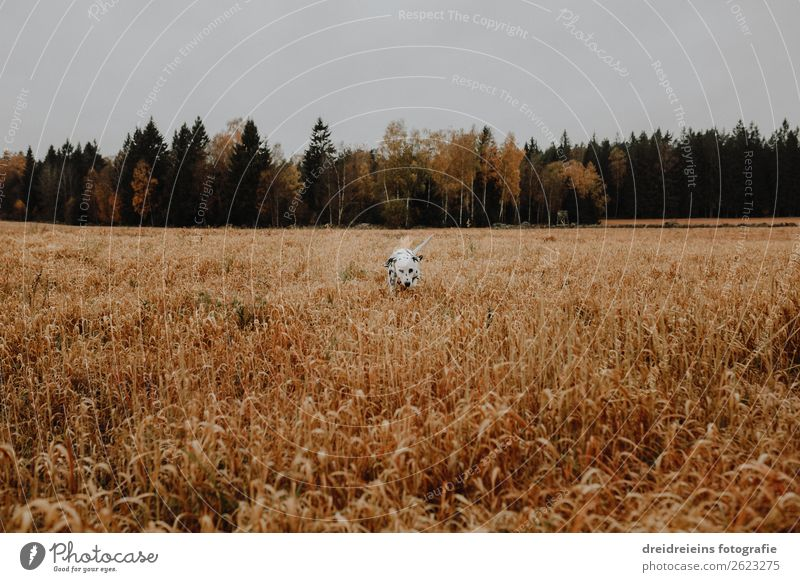 Dog Dalmatian runs through cornfield Grain field Colour photo Loyalty search Joie de vivre (Vitality) Love of nature Cornfield Walking Idyll Expectation