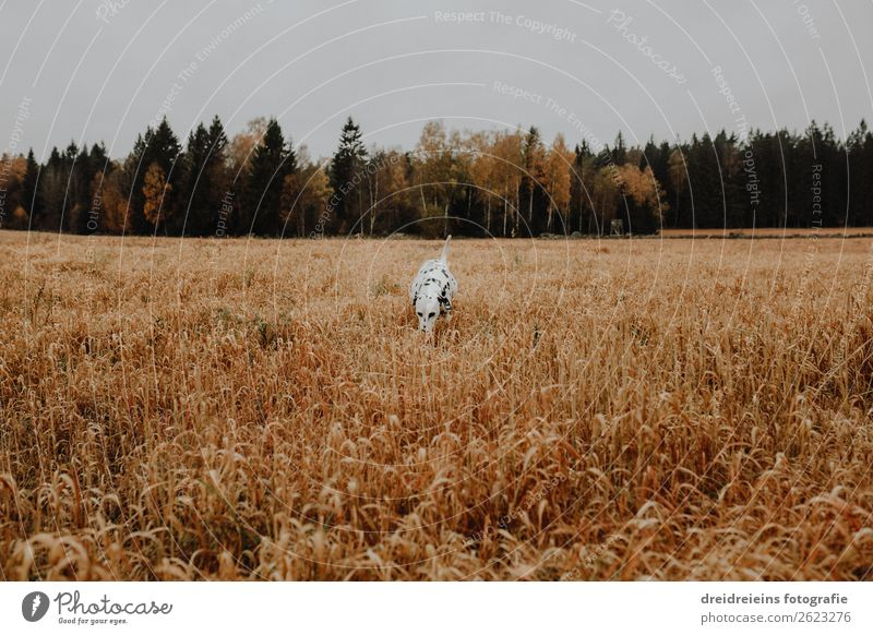 Dog Dalmatian runs through cornfield Grain field Colour photo Loyalty search Joie de vivre (Vitality) Love of nature Cornfield Walking Idyll Expectation