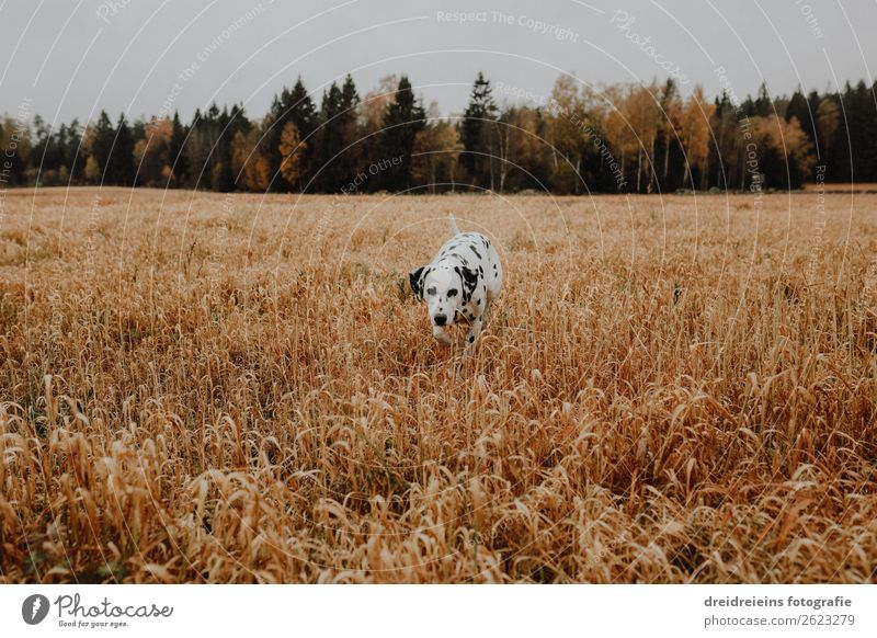 Dog Dalmatian runs through cornfield Grain field Colour photo Loyalty sniff search Joie de vivre (Vitality) Love of nature Cornfield Walking Idyll Expectation