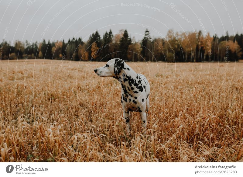 dog dalmatian in cornfield cornfield cornfield field Environment Nature Landscape Agricultural crop Field Animal Pet Dog Observe Looking Stand Wait Esthetic