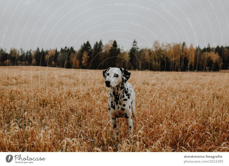 Dog Dalmatian stands in cornfield Central perspective Day Colour photo Loyalty Love of nature Agriculture Cornfield Grain field Idyll Expectation Contentment