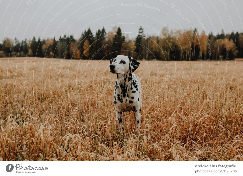 Dalmatian dog standing in cornfield grain field Environment Nature Landscape Field Animal Pet Dog Observe Stand Wait Natural Contentment