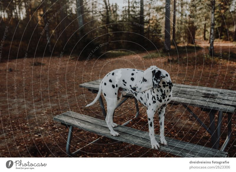 Dalmatian Forest Bank waiting Dog Wait shoe peep Park bench Nature natural front door Dog walk Forest walk Copy Space top Exterior shot