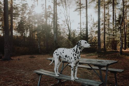 Dalmatian dog standing on a park bench back light in the woods Environment Nature Sunrise Sunset Sunlight Spring Summer Autumn Beautiful weather Forest Animal