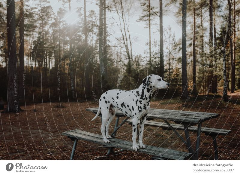 Nature Dog Summer Animal Calm Forest Autumn Environment Spring Natural Elegant Esthetic Stand Beautiful weather Wait Pet