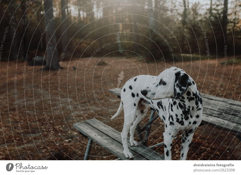 Dalmatian dog stands in the forest on bench with back light Nature Sunlight Spring Summer Autumn Beautiful weather Forest Park Animal Pet Dog Relaxation Looking