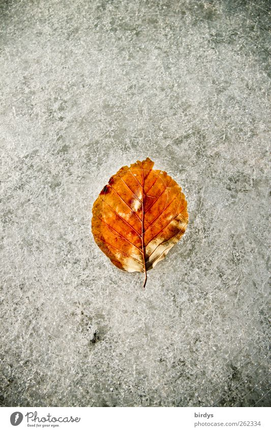 leaf on ice Winter Ice Frost Leaf Esthetic Cold Natural Beautiful Brown White Nature Change 1 Ice crystal Frozen Colour photo Subdued colour Exterior shot