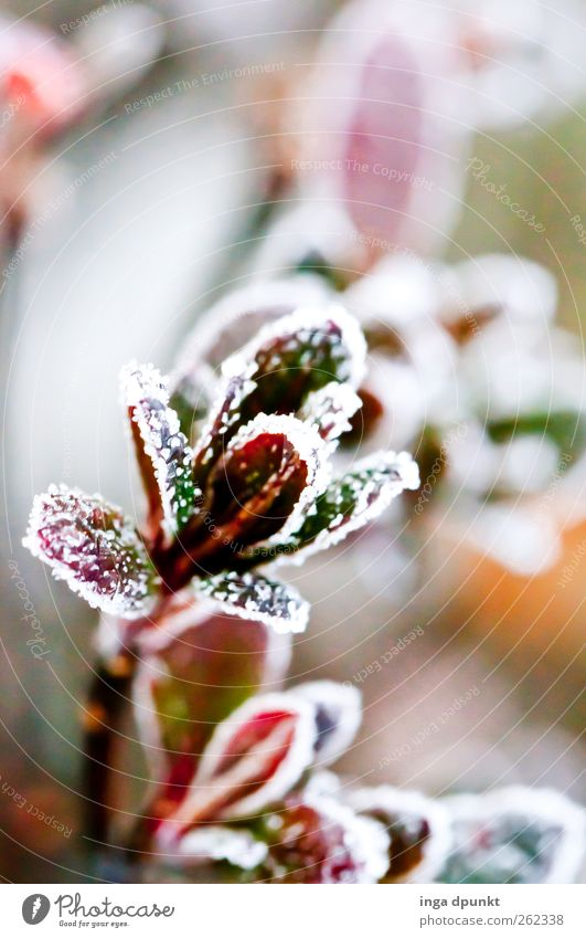 winter flower Environment Nature Plant Winter Ice Frost Bushes Leaf Foliage plant Hoar frost Garden Park Cold Beautiful Green Red Spring fever Anticipation Hope