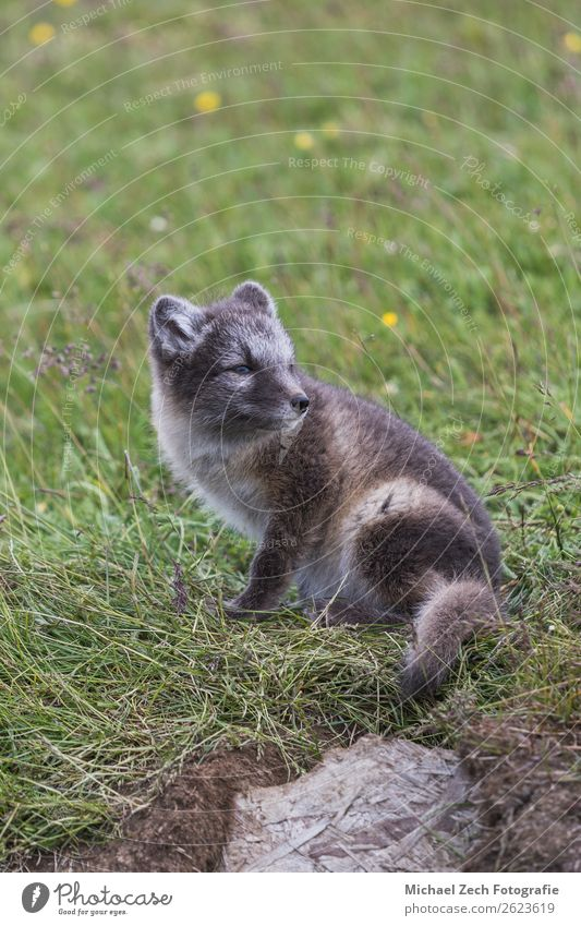 Close up of a young playful arctic fox cub in summer Beautiful Summer Baby Nature Animal Grass Meadow Fur coat Baby animal Small Cute Wild Blue Brown Green
