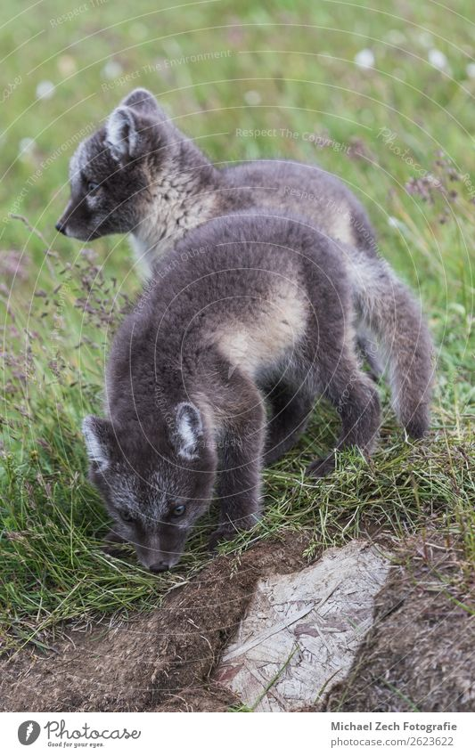 two young playful arctic fox cub in front of their lair Beautiful Summer Baby Nature Animal Grass Meadow Fur coat Baby animal Small Cute Wild Blue Brown Green