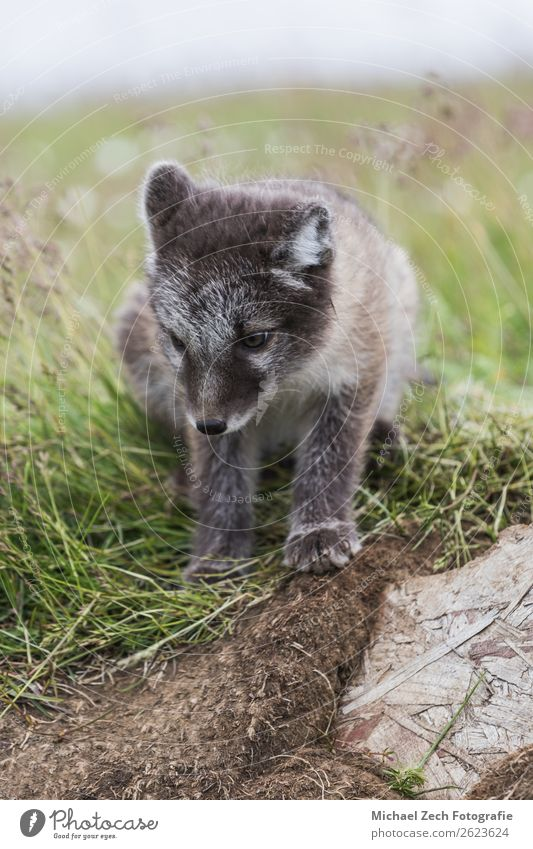 Close up of a young playful arctic fox cub in summer on iceland Beautiful Summer Baby Nature Animal Grass Meadow Fur coat Baby animal Small Cute Wild Blue Brown