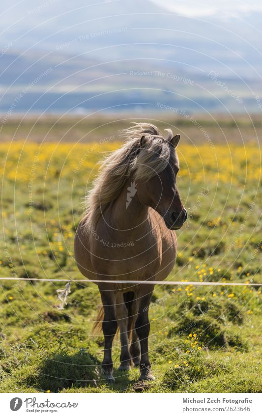 Icelandic horse on a green field in summer iceland Beautiful Mountain Group Nature Landscape Animal Grass Meadow Hill Glacier Horse Herd Natural Brown Green