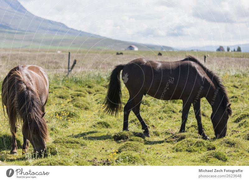 Icelandic horses on a green field in summer iceland Beautiful Mountain Group Nature Landscape Animal Grass Meadow Hill Glacier Horse Herd Natural Brown Green