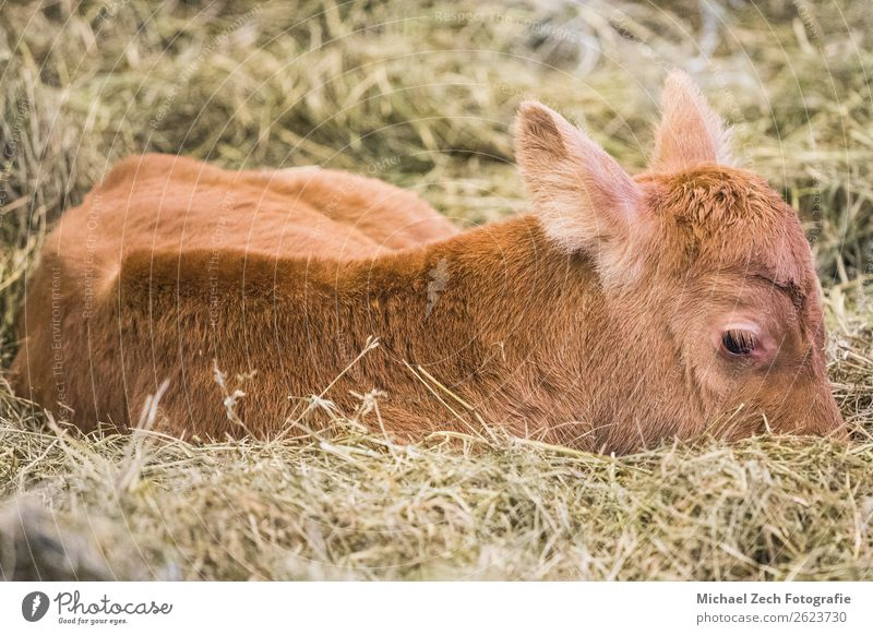 young cows lying on the ground and having a rest Meat Animal Lake Cow Pen Growth Small Cute Vogafjos Cowshed Café Mývatn Iceland Delightful agriculture barn