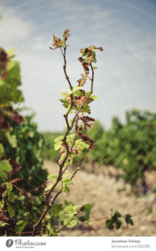 The Vineyard IV Summer Environment Nature Plant Bushes Leaf Agricultural crop Growth Grape harvest Wine growing Agriculture Southern France Manmade landscape