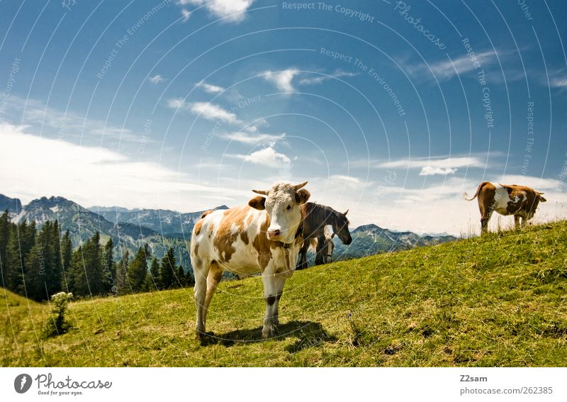 What is´n? Mountain Environment Nature Landscape Sky Clouds Summer Meadow Alps Peak Cow 3 Animal Looking Stand Esthetic Natural Bavaria Colour photo