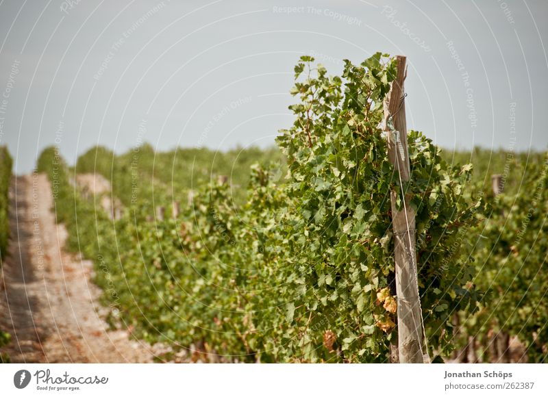 The vineyard V Relaxation Calm Far-off places Summer Summer vacation Environment Nature Landscape Plant Beautiful weather Leaf Agricultural crop Vine Extend