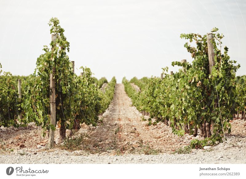 The vineyard VI Summer Environment Nature Landscape Plant Beautiful weather Warmth Foliage plant Agricultural crop Vine Grape harvest Row Growth Vineyard