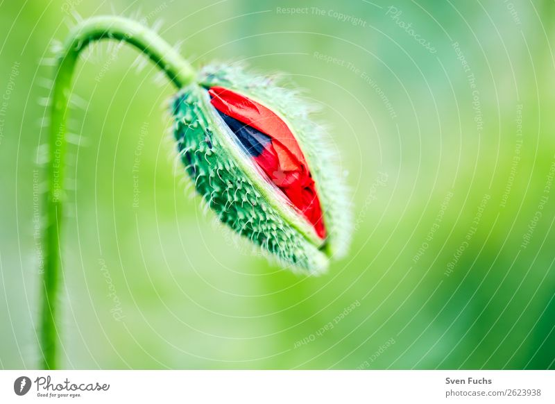 Poppy blossom opening Summer Garden Nature Plant Spring Flower Grass Leaf Blossom Meadow Love Large Bright Small Green Red bud Bursting youthful Deploy