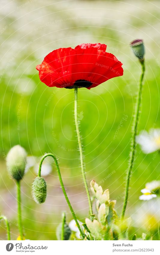 Poppy flower and poppy blossoms between flowers Summer Garden Nature Plant Spring Flower Grass Leaf Blossom Meadow Love Large Bright Small Green Red