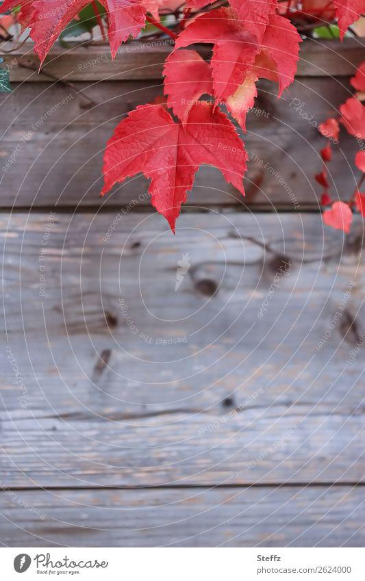 Red vine leaves Vine leaf Sense of Autumn November mood Autumnal autumn colours October red leaves autumn atmosphere autumn decoration Autumnal colours