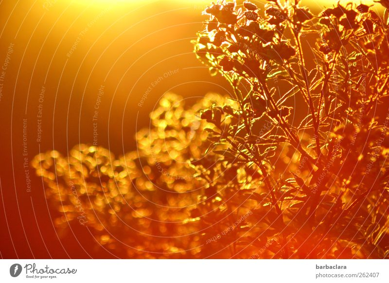 gold-plated Environment Nature Plant Air Sky Autumn Beautiful weather Bushes Illuminate Esthetic Warmth Wild Gold Exotic Colour Growth Colour photo