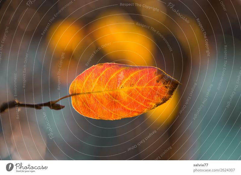 autumn leaf Environment Nature Plant Autumn Leaf Autumnal colours Rachis October Park Forest Illuminate Warmth Change Seasons Orange Colour photo Exterior shot