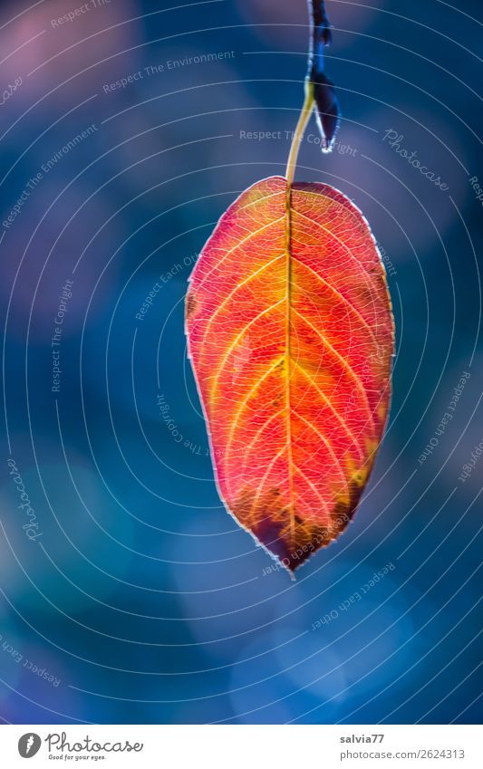 The last sheet Nature Plant Autumn Leaf Twig Autumnal colours Park Illuminate To dry up Blue Yellow Orange Red Esthetic End Calm Symmetry Transience Change