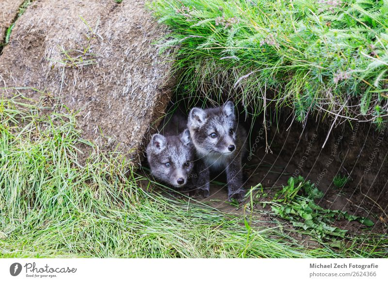 two young playful arctic fox cub in front of their lair Summer Baby Nature Animal Grass Meadow Fur coat Baby animal Small Cute Wild Blue Brown Green White