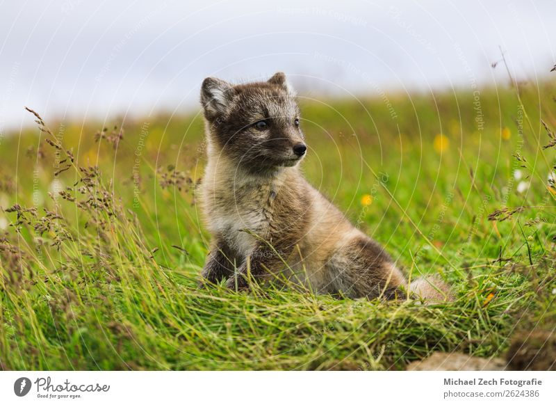 young playful arctic fox cub in iceland, summer Summer Baby Nature Animal Grass Meadow Fur coat Baby animal Small Cute Wild Blue Brown Green White The Arctic