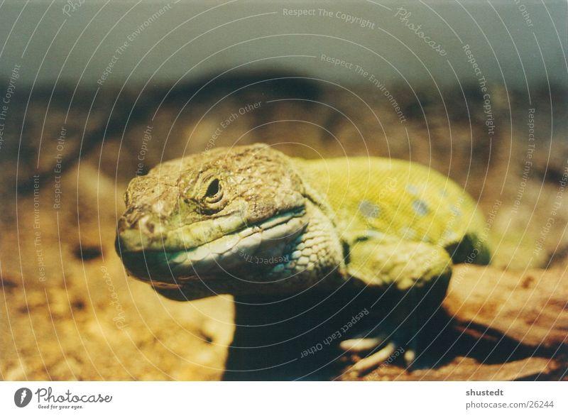 Exotic Reptiles Saurians Gaudy Lizards
