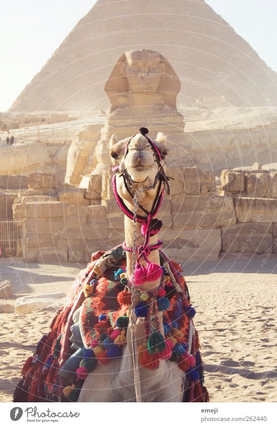 Summer Animal Warmth Sand Funny Exceptional Culture Desert Sculpture Farm animal Drought Work of art World heritage Egypt Pyramid Camel