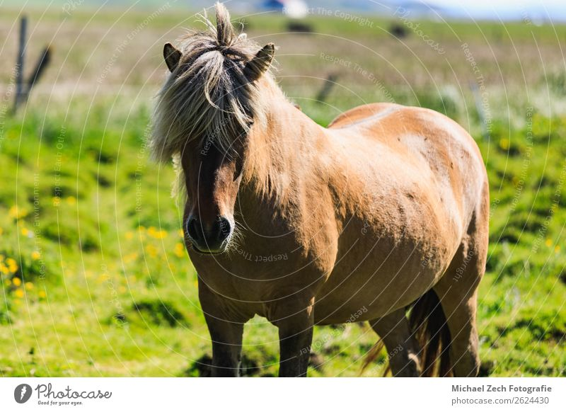Brown Icelandic horse on a green field in summer Beautiful Island Mountain Group Nature Landscape Animal Grass Meadow Hill Glacier Horse Herd Natural Green